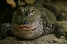 <h5>Dierentuin Singapore Alligator</h5>